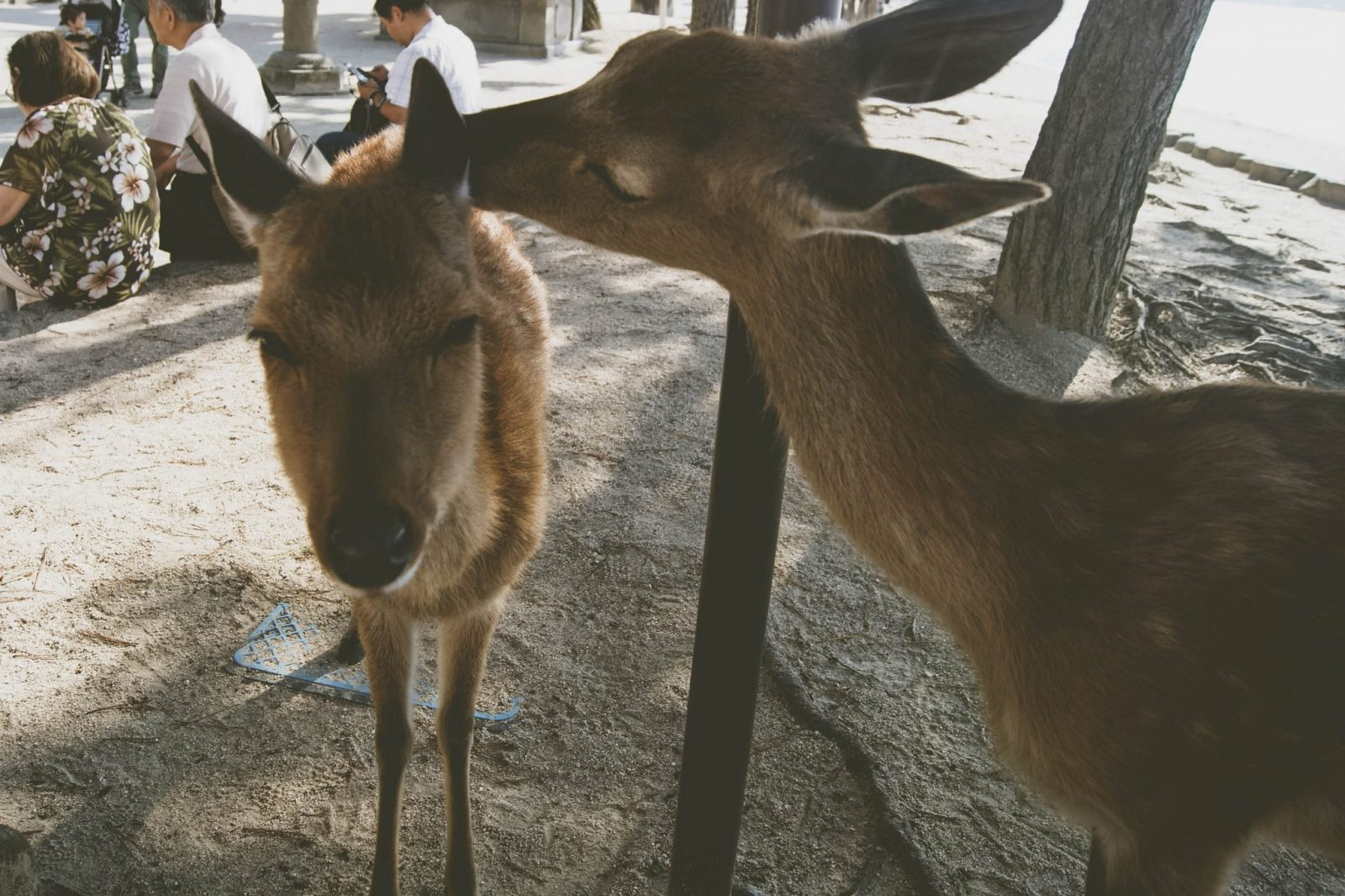 Japan Bucket List | Nara Deers